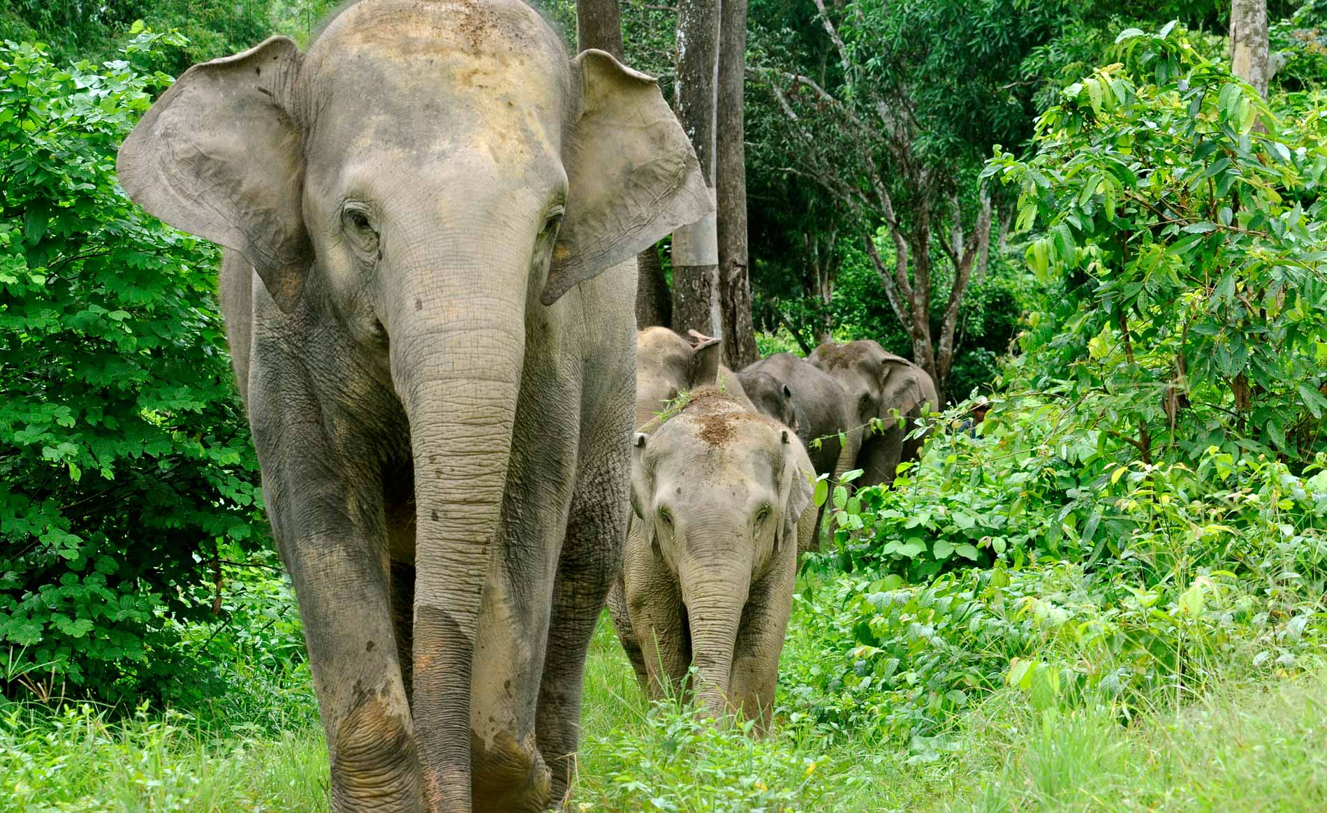 Female elephants are highly social animals who thrive in herds.